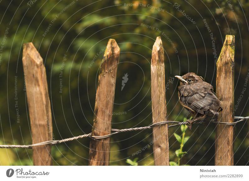 Amsel auf Staketenzaun Garten Natur Frühling Sommer Sträucher Tier Wildtier Vogel Flügel 1 Tierjunges niedlich Abenteuer Beginn Gartenzaun Landhaus Bauerngarten