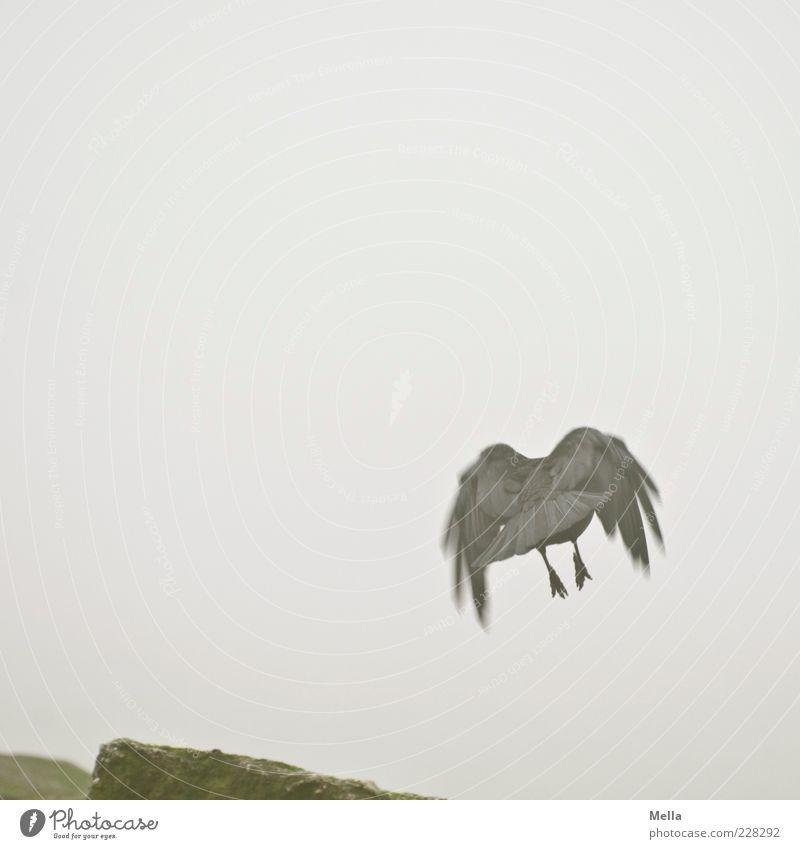 Bin schon weg Natur Luft Nebel Tier Vogel Krähe Aaskrähe 1 Stein fliegen trist grau Bewegung Abheben Farbfoto Gedeckte Farben Außenaufnahme Menschenleer