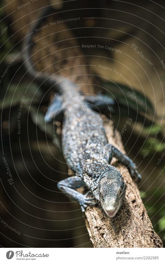 blauer Leguan Tier Tiergesicht Schuppen Pfote 1 dunkel exotisch braun grün Echsen Maul offen Ast Leguane Farbfoto Gedeckte Farben Nahaufnahme Menschenleer