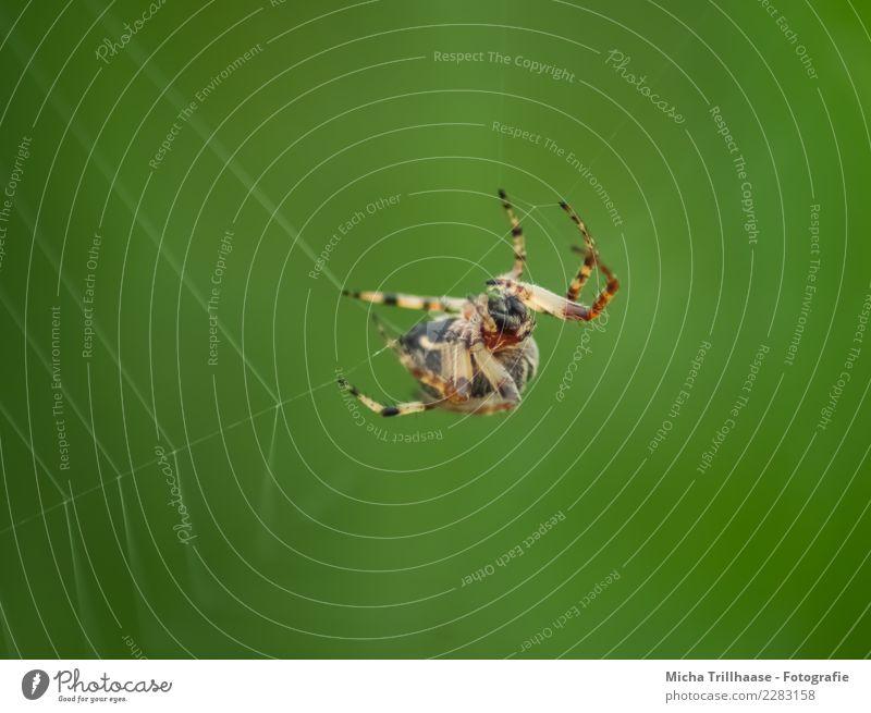 Spinne im Spinnennetz Umwelt Natur Tier Sonne Schönes Wetter Wildtier Tiergesicht Kreuzspinne Gliederfüßer Beine Härchen 1 bauen Bewegung fangen Fressen hängen