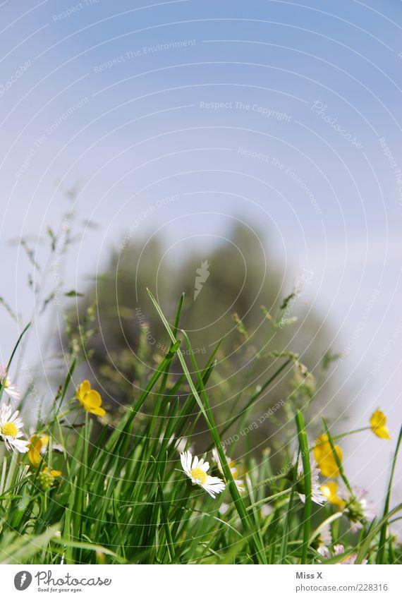 Sommerwiese Natur Pflanze Frühling Schönes Wetter Baum Blume Gras Blüte Wiese Blühend Duft Wachstum positiv Erholung Blumenwiese Hahnenfuß Gänseblümchen