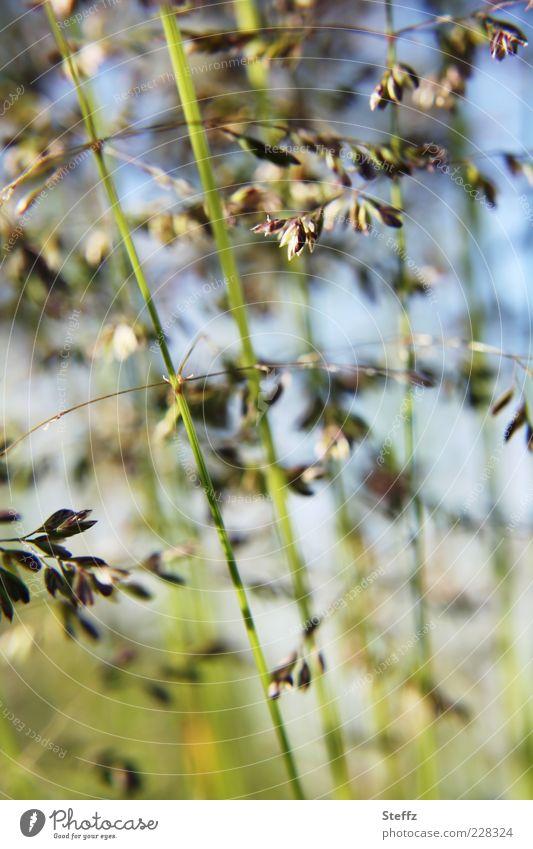 Grasgeflüster Umwelt Natur Pflanze Sommer Wildpflanze Halm Wiese Wachstum einfach natürlich blau grün sommerlich urwüchsig Makroaufnahme simpel Gräserblüte
