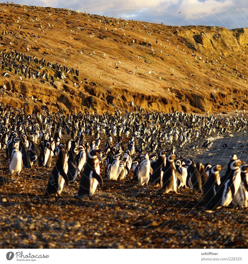 Gruppenkuscheln Strand Tier Vogel Zusammensein Wildtier außergewöhnlich Tiergruppe niedlich viele Herde Rudel Pinguin überbevölkert brütend unzählig