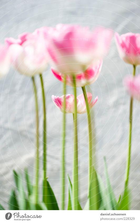 doch, die hinterste Tulpe ist scharf !! Natur Pflanze Frühling Blume Blatt Blüte hell grün rosa weiß Tulpenblüte Detailaufnahme Makroaufnahme