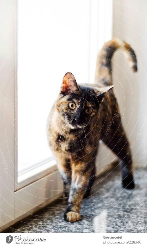 Chili Tier Haustier Katze Fell Pfote 1 frech Freundlichkeit Fröhlichkeit Neugier niedlich Katzenkopf Schwanz Fellmuster Fensterbrett Katzenbaby Katzenauge