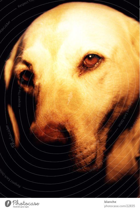 luna Hund Kopf Haustier Labrador