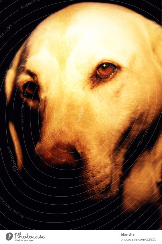 luna Hund Labrador Haustier Kopf