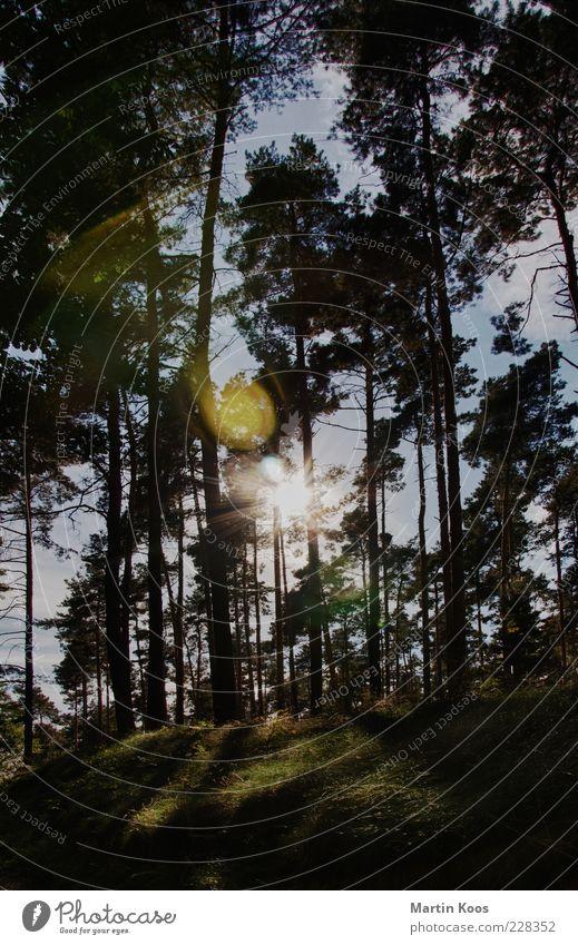 zum beispiel letztes jahr im sommer II Natur Landschaft Pflanze Baum Wald hell Wiese Nadelbaum Nadelwald Sommer Farbfoto Außenaufnahme Licht Kontrast