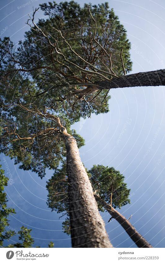 Dem Himmel entgegen Natur Baum Sommer ruhig Ferne Wald Leben Umwelt Freiheit träumen Zeit hoch ästhetisch Wachstum Wandel & Veränderung einzigartig