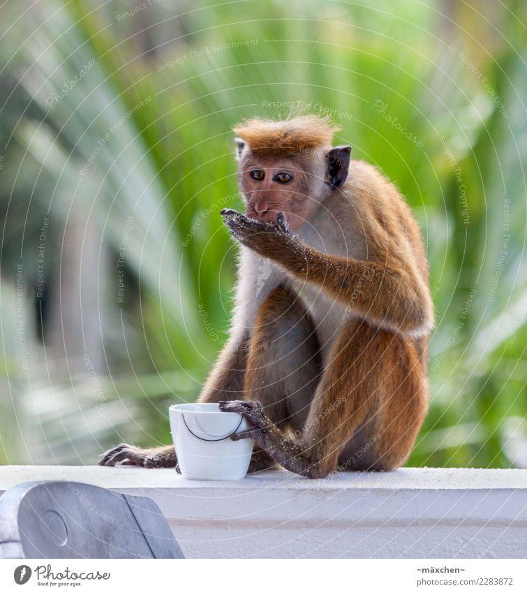 Naschaffe Natur Haare & Frisuren kurzhaarig Affen Zucker Sri Lanka Süßwaren entwenden 1 Tier Essen genießen sitzen grün Appetit & Hunger Abenteuer lecker Palme