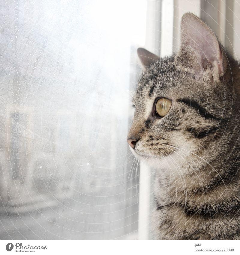 800 | schmusetiger Tier Haustier Katze 1 schön beobachten Fenster Glas Scheibe Hauskatze Farbfoto Innenaufnahme Menschenleer Textfreiraum links Tag Licht