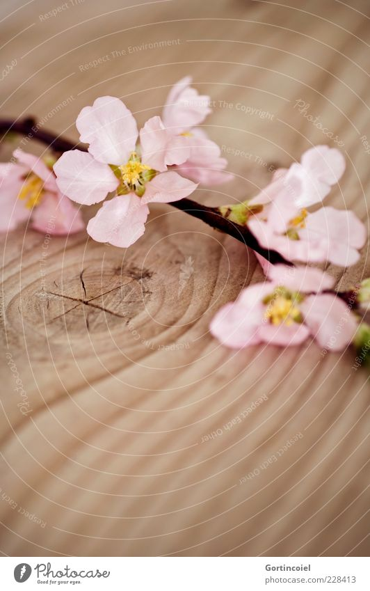 Frühlingsboten Natur Pflanze Blume Blüte schön rosa Holztisch Zweig Blütenblatt Frühlingsgefühle Pfirsichblüten Farbfoto Gedeckte Farben Innenaufnahme