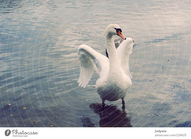 Majestätisch elegant schön Freiheit Umwelt Natur Wasser Winter Teich See Tier Vogel Flügel Feder Schwan ästhetisch blau weiß Gefühle Kraft Tatkraft Leidenschaft