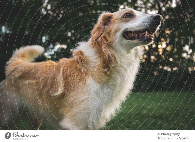 Glücklicher süßer Hund Spielen Sommer Freundschaft Mund Natur Tier Gras Pelzmantel Haustier stehen klein niedlich braun gelb gold grün weiß züchten Welpe Feld