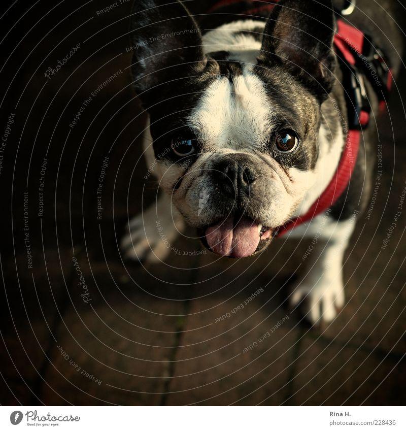 Was ist nun, gehen wir ne Runde ? Tier Hund Spaziergang Wunsch Tiergesicht atmen Haustier Zunge Sympathie Hundeleine Hundehalsband betteln Bulldogge flehen