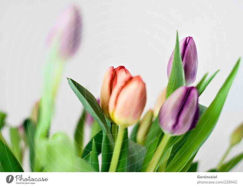 Noch mehr Frühling schön Blume Blatt Frühling Blüte Dekoration & Verzierung frisch Stengel Blumenstrauß Blütenblatt Tulpe Feste & Feiern mehrfarbig Tulpenblüte