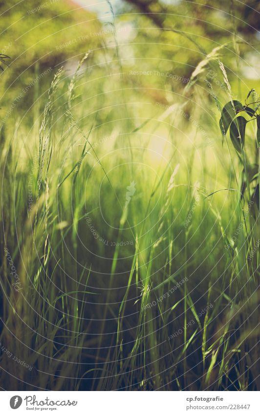 Oase Natur Pflanze Sonne Sommer Wiese Gras weich Stengel Schönes Wetter Halm Textfreiraum Grünpflanze Grasnarbe