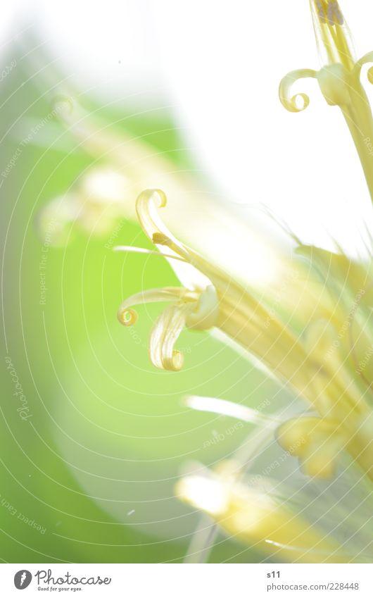 Sonnenlicht & Frühlingswärme Natur weiß grün schön Pflanze Blume Sommer Blatt gelb Blüte klein hell Kraft glänzend elegant