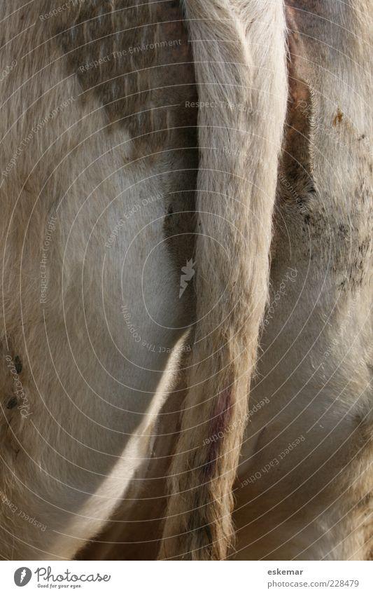 hinten Natur weiß Tier grau braun authentisch Hinterteil Fell Kuh dick tierisch Schwanz Nutztier Vieh Rind