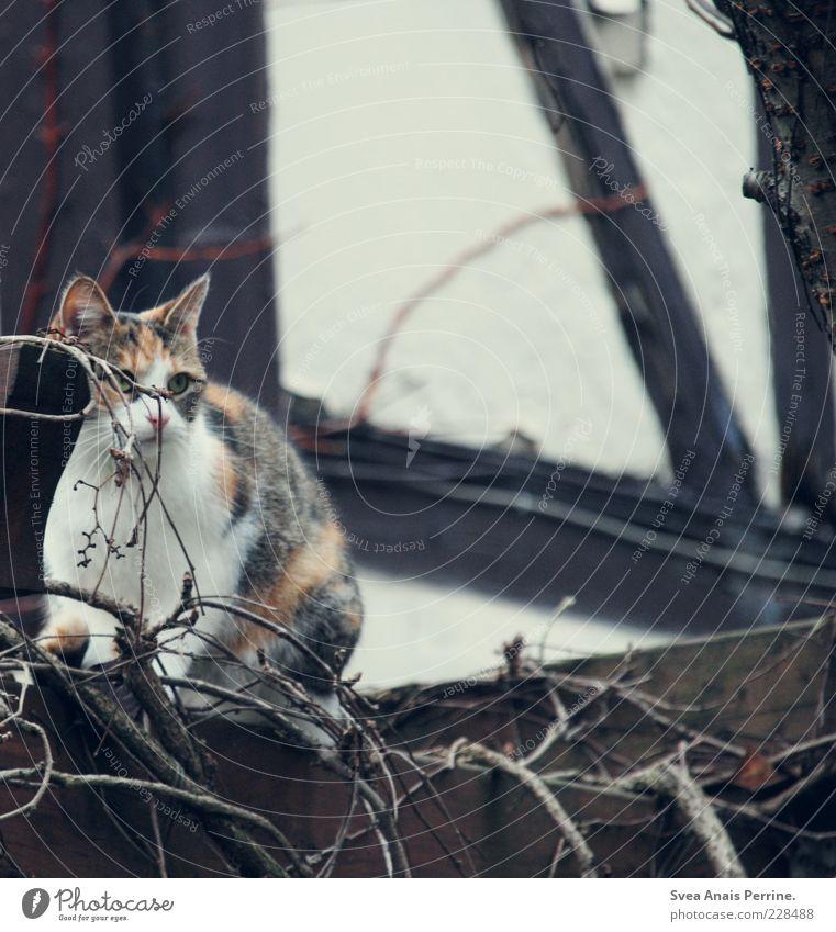 versteckt. schön Tier Wand Garten Katze Mauer Zufriedenheit sitzen beobachten Ast verstecken Zukunftsangst Haustier Zweige u. Äste Fachwerkfassade