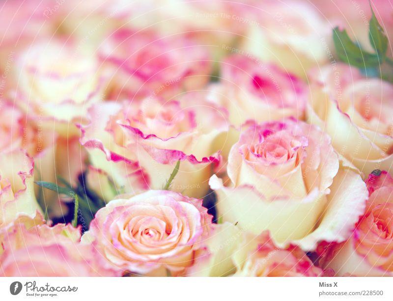 Mädchenfoto deluxe Frühling Blume Rose Blüte Blühend Duft Kitsch Rosenblätter Rosenblüte rosa zart sanft Blumenstrauß Farbfoto mehrfarbig Nahaufnahme Muster