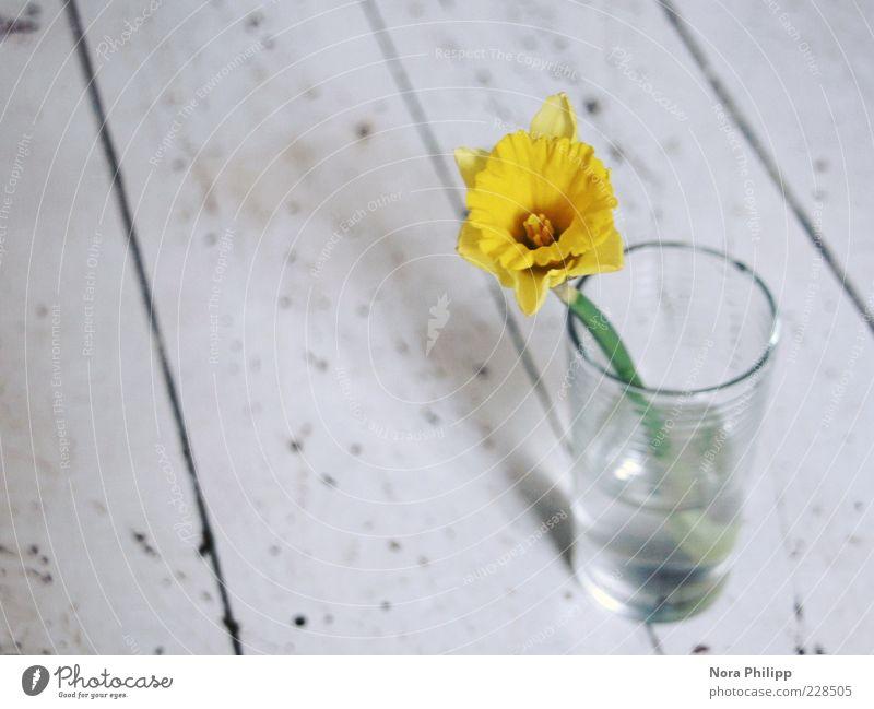 ...kann ich mich nur freuen Natur Pflanze schön Wasser weiß Blume gelb Blüte Frühling Dekoration & Verzierung Glas ästhetisch Blühend einzigartig Wohlgefühl