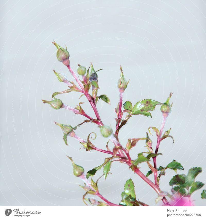 zartes Röschen harmonisch Wohlgefühl Zufriedenheit Erholung Duft Sommer Pflanze Blume Sträucher Rose Blatt Blüte Blütenknospen Wachstum ästhetisch schön blau