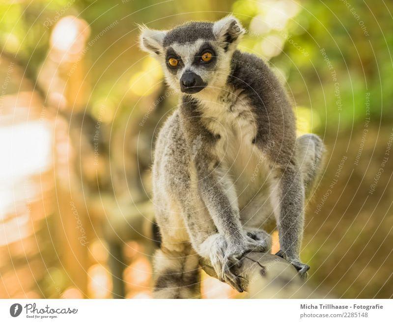 Neugierig schauen Umwelt Natur Tier Sonne Sonnenlicht Schönes Wetter Baum Sträucher Wildtier Tiergesicht Fell Krallen Pfote Affen Katta Halbaffen Auge Blick 1