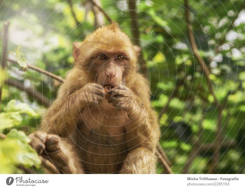 Kleiner Snack Frucht Nuss Walnuss Ernährung Essen Gesunde Ernährung Natur Tier Sonne Schönes Wetter Pflanze Baum Sträucher Wildtier Tiergesicht Fell Affen