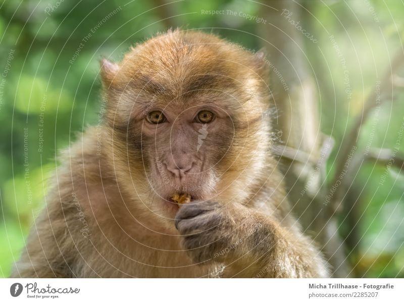 Kleiner Imbiss zwischendurch Frucht Nuss Walnuss Ernährung Essen Natur Tier Sonne Schönes Wetter Baum Sträucher Wildtier Tiergesicht Fell Affen Berberaffen Auge