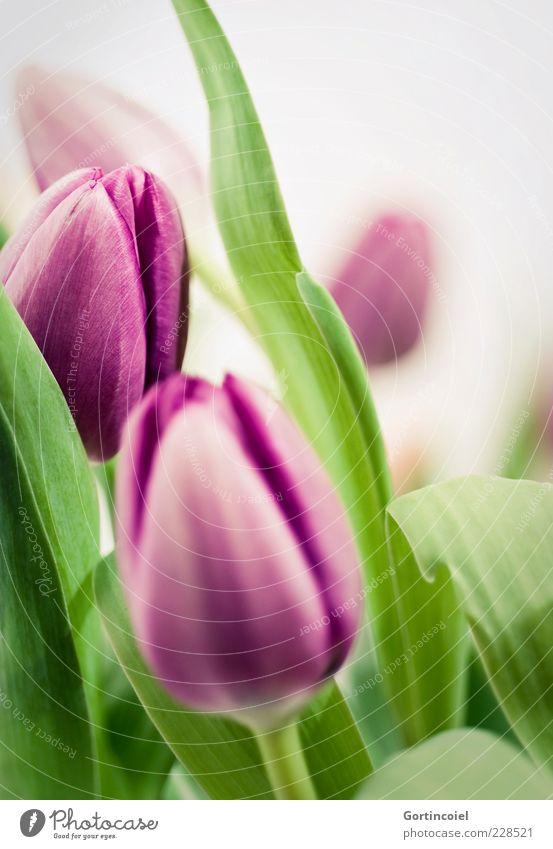 Lilagrün Pflanze Frühling Blume Tulpe Blatt Blüte Blumenstrauß Duft frisch schön violett Frühlingsblume Tulpenblüte Farbfoto Nahaufnahme Hintergrund neutral