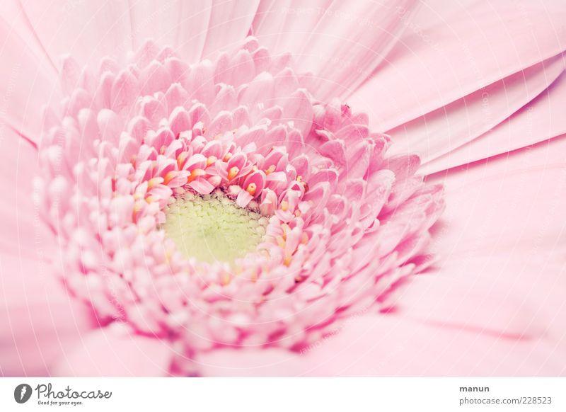 Miss Pinky Natur schön Blume Blüte hell elegant rosa natürlich ästhetisch Dekoration & Verzierung Kitsch Duft Blütenblatt Frühlingsgefühle