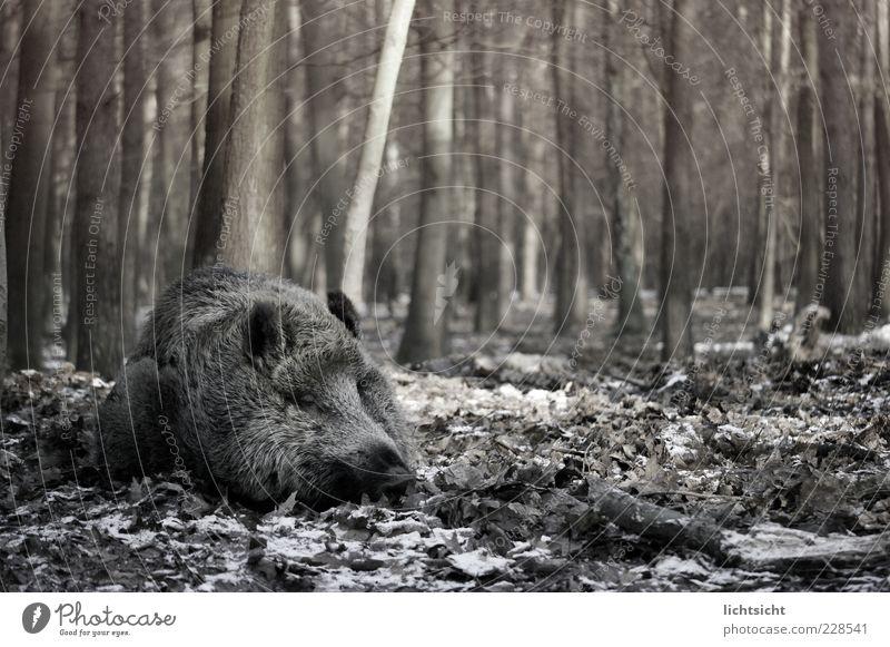 Wildschwein schläft II Umwelt Natur Herbst Winter Baum Wald Tier Wildtier 1 schlafen Sau Schwein Blatt Waldboden bedrohlich träumen liegen Schwarzweißfoto