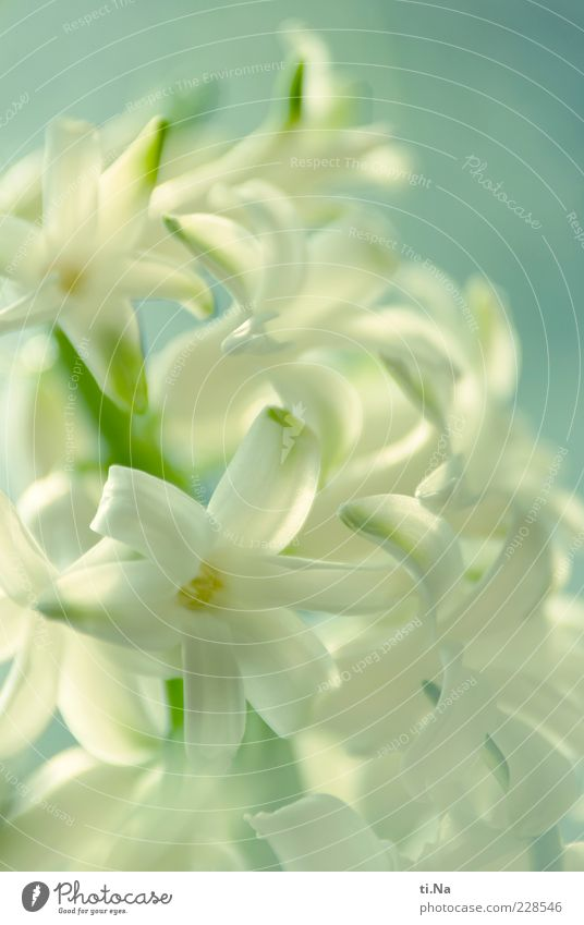 Frühlingsboten Teil II Natur blau weiß grün schön Pflanze Blume Umwelt Garten Blüte Frühling hell rein Blühend Schönes Wetter Duft