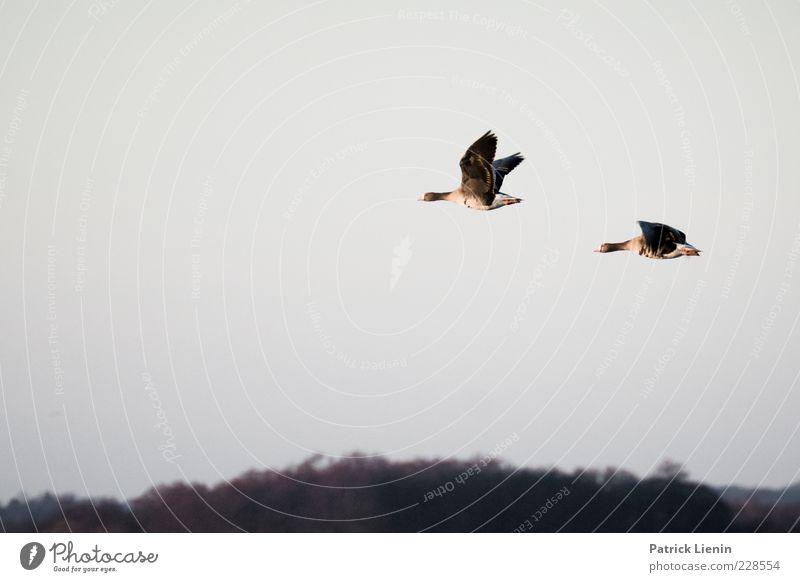 Follow me Himmel Natur schön Winter Tier Ferne grau Luft Vogel fliegen Tierpaar hoch Wildtier Flügel Feder beobachten