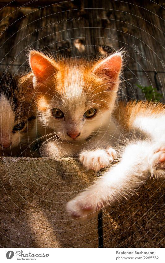Katzenkinder I Tier Haustier 2 Tierjunges Erholung liegen Blick kuschlig Neugier niedlich oben braun orange schwarz weiß Pfote Katzenbaby Katzenauge Katzenkopf