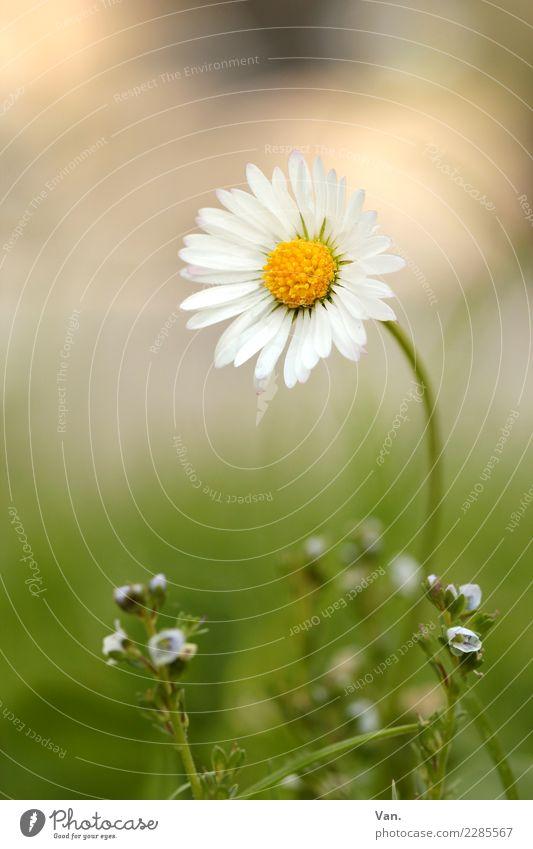Gänseblümchen Natur Pflanze Herbst Blume Gras Blüte Garten Wiese klein grün weiß Farbfoto mehrfarbig Außenaufnahme Nahaufnahme Makroaufnahme Menschenleer Tag