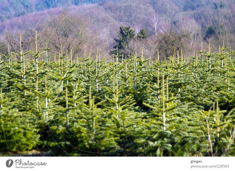 Nachwuchs Umwelt Landschaft Pflanze Winter Baum Nutzpflanze Wald Wachstum grün Baumschule Nadelbaum Nachkommen Tannenzweig Textfreiraum oben Textfreiraum unten