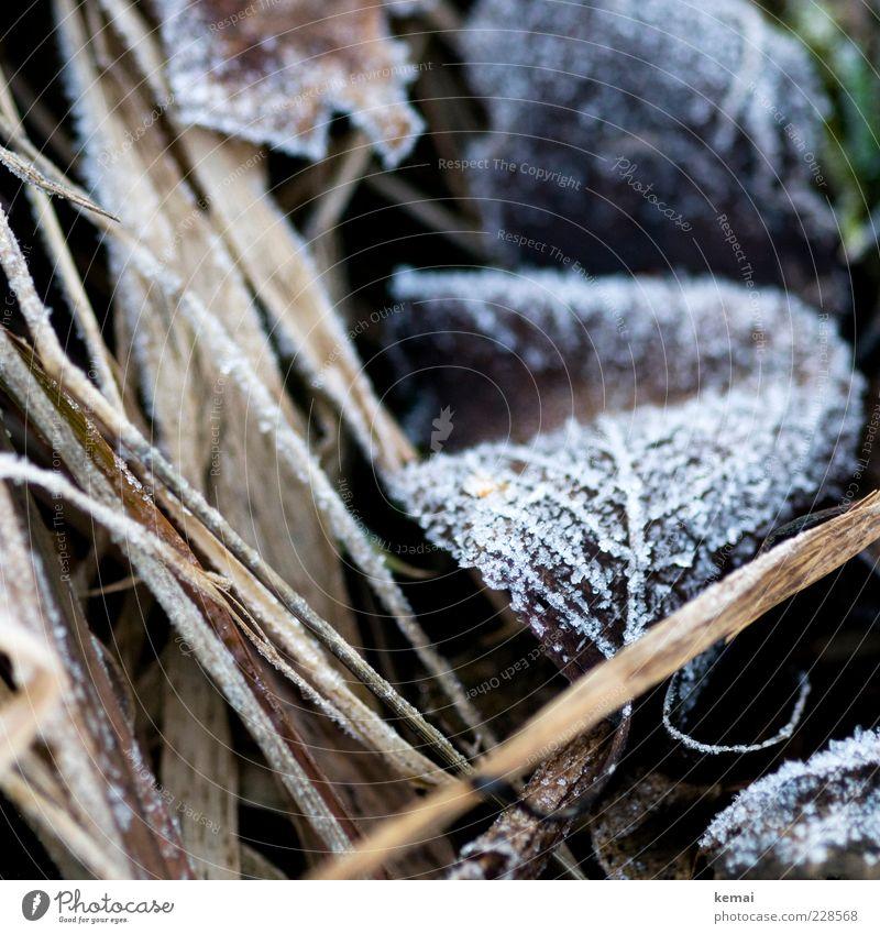 Zurück zum Frost Umwelt Natur Pflanze Winter Eis Gras Blatt kalt gefroren Eiskristall Blattadern Farbfoto Gedeckte Farben Außenaufnahme Nahaufnahme