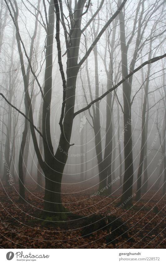 Märchenwald Umwelt Natur Landschaft Pflanze Luft Herbst Winter Wetter Nebel Baum Wildpflanze Wald ästhetisch authentisch fantastisch gruselig natürlich braun