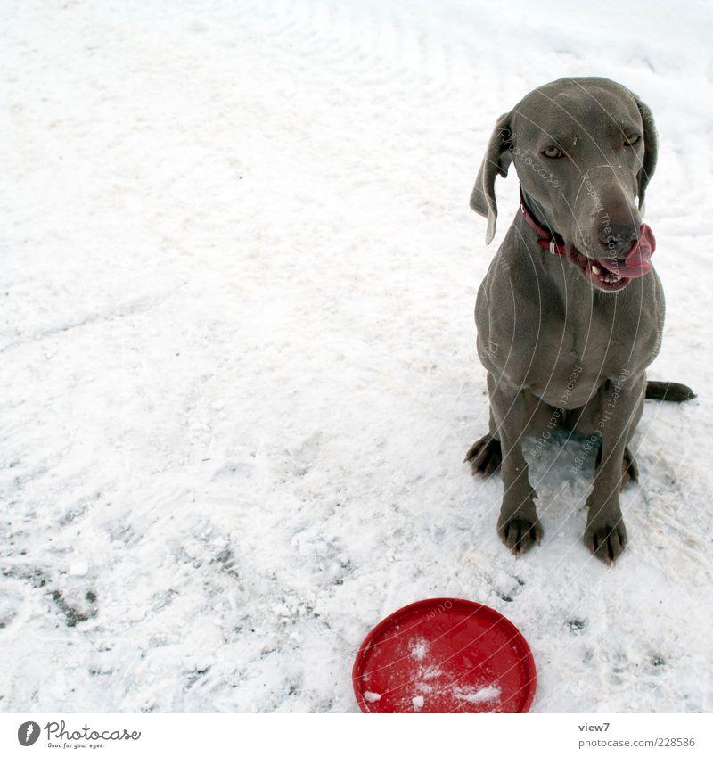 Trainee Hund rot Tier Winter Gefühle Schnee frisch authentisch sitzen warten Lebensfreude Zeichen Pause Vertrauen Fell Partnerschaft