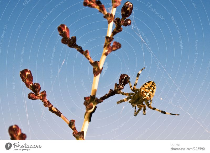 Abhängen Tier Wildtier Spinne 1 Ekel Spinnennetz Kreuzspinne Spinnenangst Spinnenphobie Pflanze Stengel Natur Farbfoto Außenaufnahme Tag Tierporträt Nahaufnahme