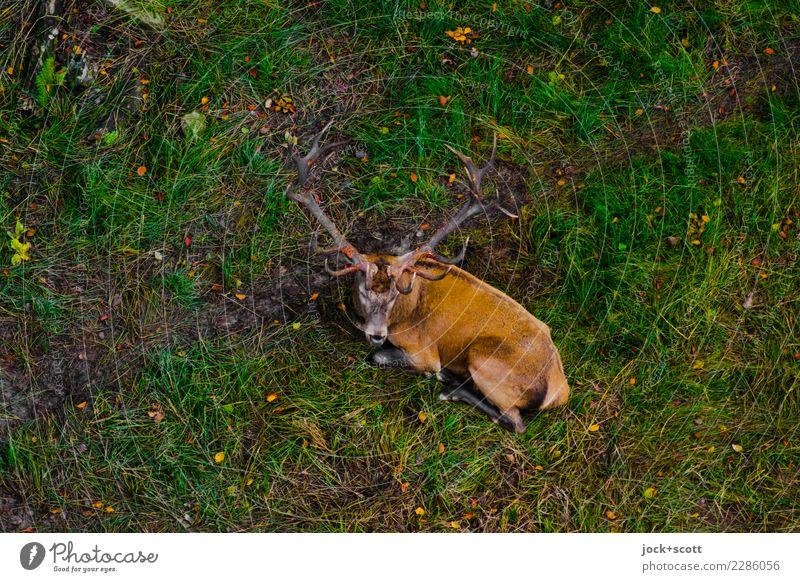 Platzhirsch Natur grün Erholung Tier ruhig Herbst natürlich Gras Zufriedenheit liegen Wildtier Perspektive Pause unten Inspiration Geborgenheit