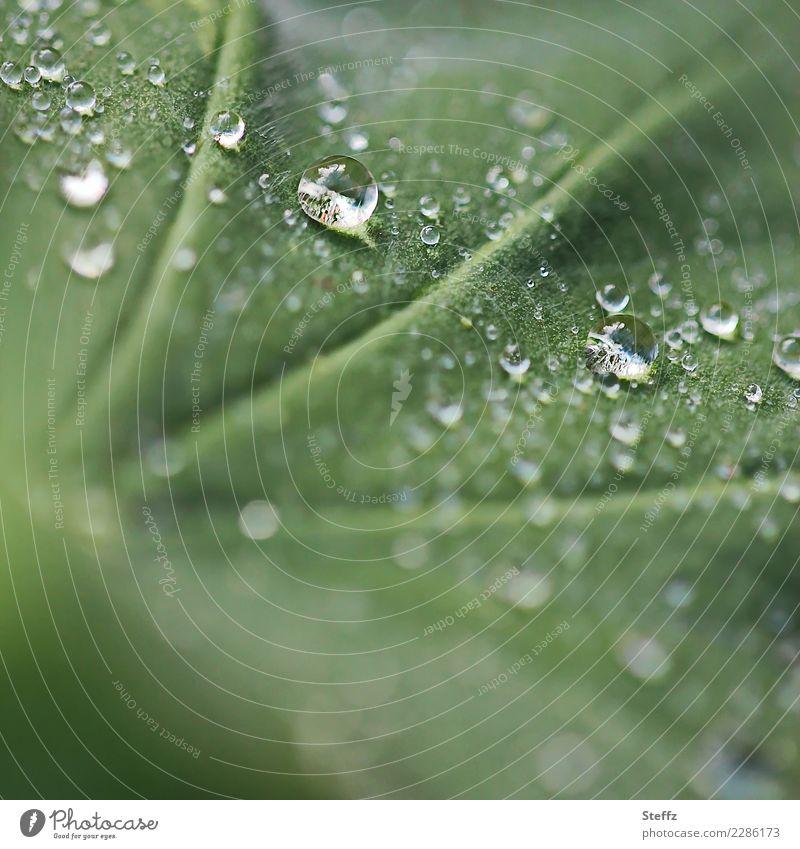 Regenperlen Natur Pflanze Wassertropfen Klima Wetter Blatt Frauenmantel Frauenmantelblatt Blattadern Heilpflanzen Gartenpflanzen Allchemilla vulgaris nah nass