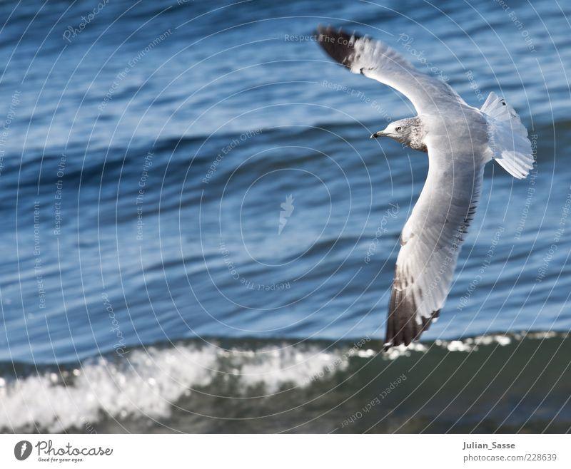 Möve im Flug Natur Wasser blau Meer Tier Umwelt Wellen Vogel fliegen Wildtier Flügel Urelemente Schönes Wetter Amerika Möwe Wasseroberfläche