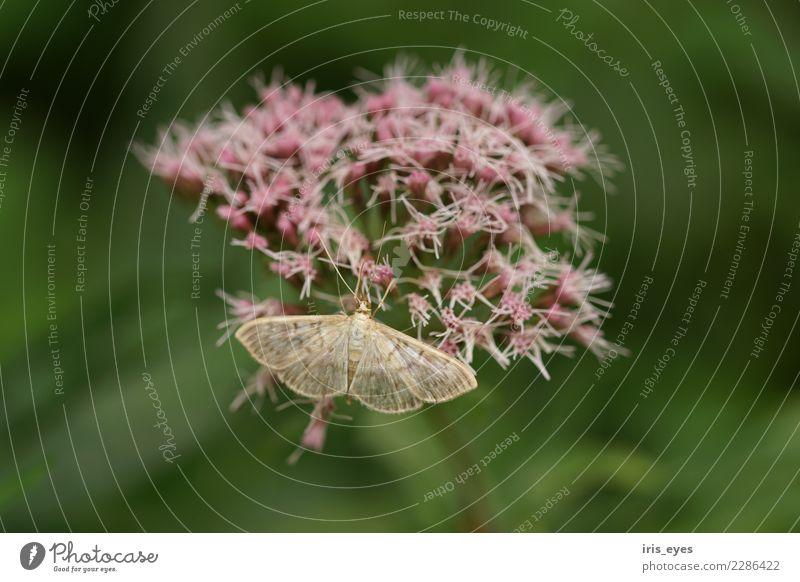 Braunstirn-Weißspanner an Blüte Natur Pflanze Tier Schmetterling 1 natürlich weich grün violett ruhig Farbfoto Außenaufnahme Nahaufnahme Schwache Tiefenschärfe