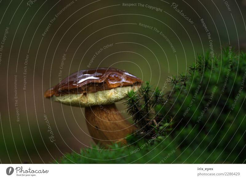Maronenröhrling im Herbstwald Natur Pflanze grün braun Wachstum Kraft stehen nass Pilz