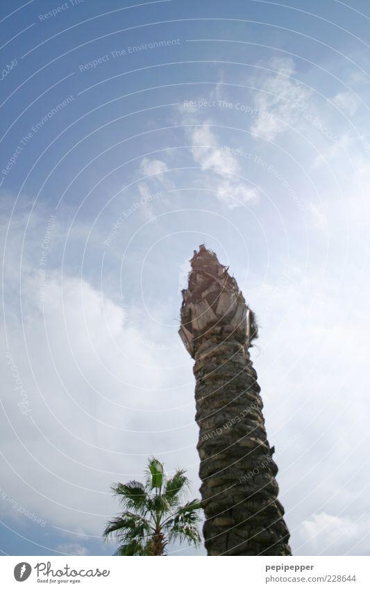 nature dildo Himmel blau Sommer Baum Wolken Leben Holz Schönes Wetter Baumstamm exotisch Palme verblüht himmelwärts