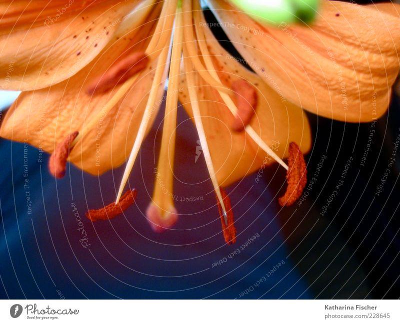 Lily was here Natur grün schön Pflanze Blume schwarz Blüte Frühling orange frisch Wachstum Blühend Blütenknospen Lilien Pollen Stempel