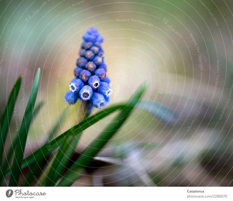 Blümchen Natur Pflanze Frühling Blume Hyazinthe Becherhyazinthe Garten Blühend Duft verblüht dehydrieren Wachstum ästhetisch schön klein blau braun grün violett
